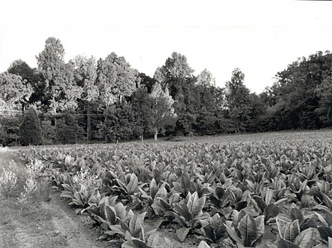 external image tobaccofarm.jpg