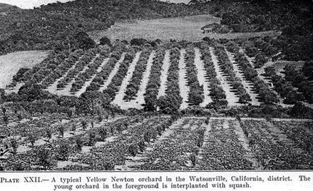 "A black and white photograph of an orchard. The caption reads ""A typical Yellow Newton orchard in the Watsonville, California, district. The young orchard in the foreground is interplanted with squash."""