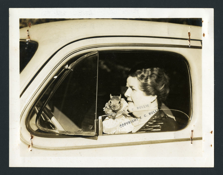 A woman drives  a car while the squirrel, standing inside the car, looks out the window. The squirrel is wearing a dress.