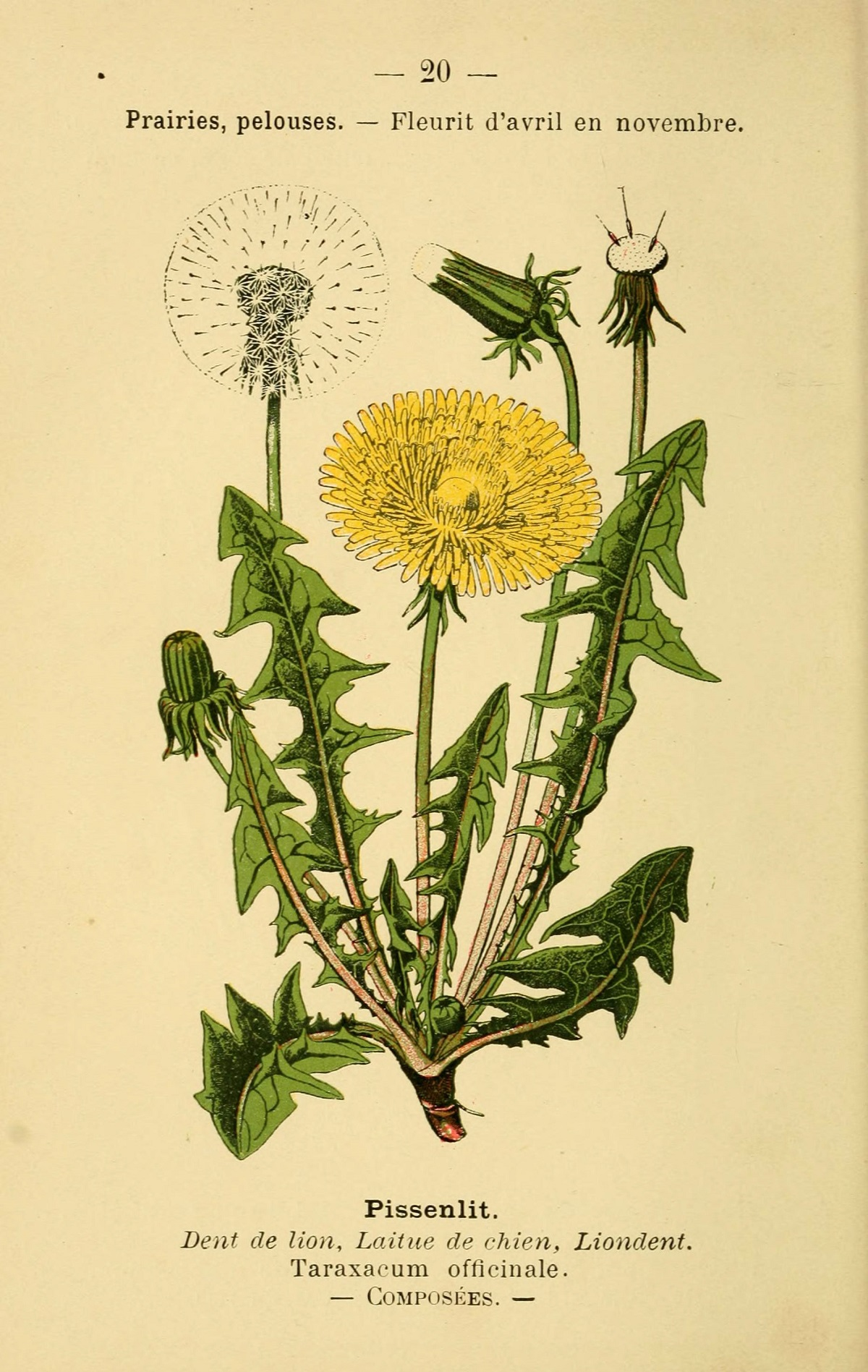 A dandelion illustration