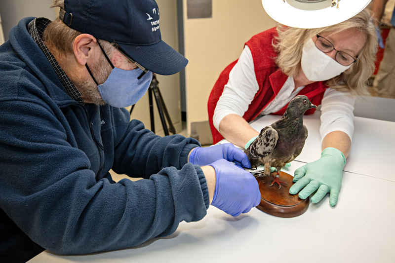 Dr. Robert Fleischer and Dr. Carla Dove taking a skin sample from Cher Ami's right leg.