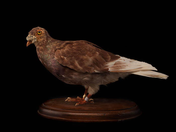 A taxidermied pigeon