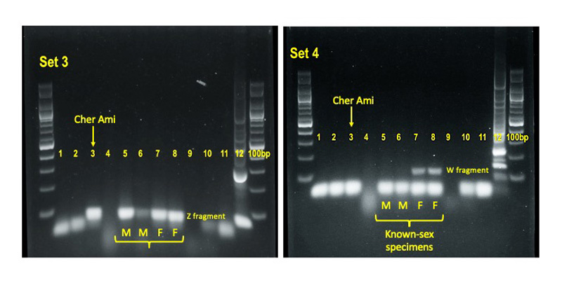 Images of two PCR results labeled to show the DNA of Cher Ami in comparison with four pigeons of known sex