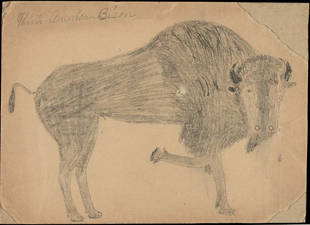 A drawing of a bison