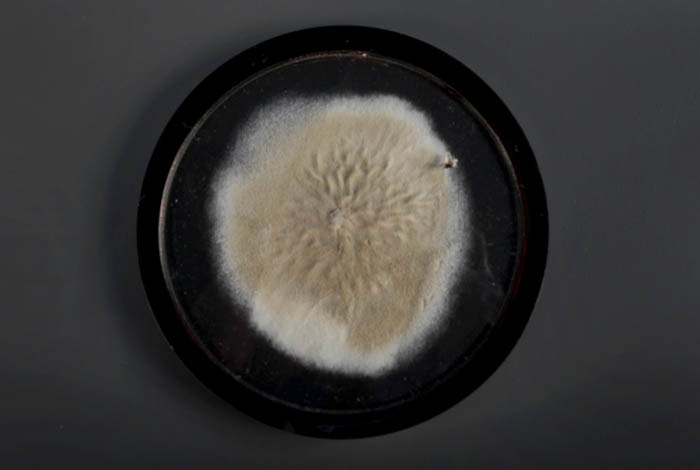 A black dish with a white and yellow mold growing on it.