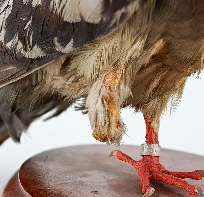 Close-up of Cher Ami's injured leg