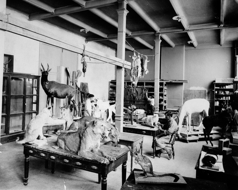 A room crowded with taxidermied animals collected from African nations, including several lions on a table in the foreground. A person sits a table working on a smaller animal specimen.