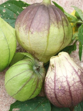 Right now in the Victory Garden grows a tomatillo that demands attention. Instead of the familiar green, this variety's fruit and husks are tinted midnight purple. Come by sometime and have a look!
