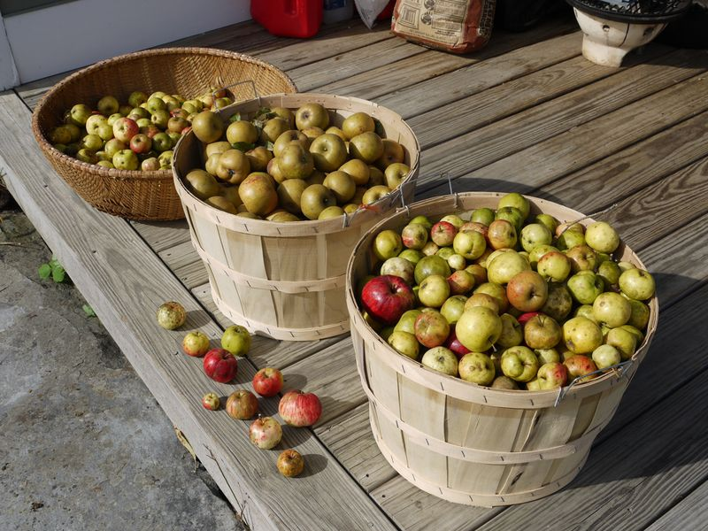 "Photograph of cider apples by flickr user ""grongar"" (Rebecca Siegel) via the creative commons."