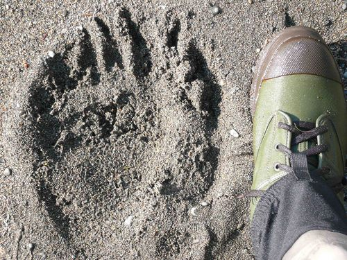 Size 13 wading boot compared to brown bear paw print. Credit: John Grabowska.
