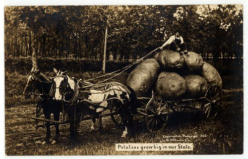 Potatoes grow big in our State, exaggeration postcard, Wm. H. Martin, 1908