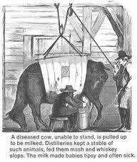 """A diseased cow, unable to stand, is pulled up to be milked. Distilleries kept a stable of such animals, fed them mash and whiskey slops. The milk made the beasts tipsy and often sick."" Image from: Dupuis, E. Melanie. Nature's Perfect Food. (New York University Press: New York, 2002)."