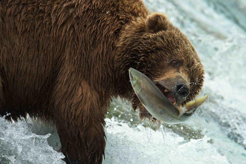 Exploring alaska q a with environmental filmmaker john for Bear catching fish