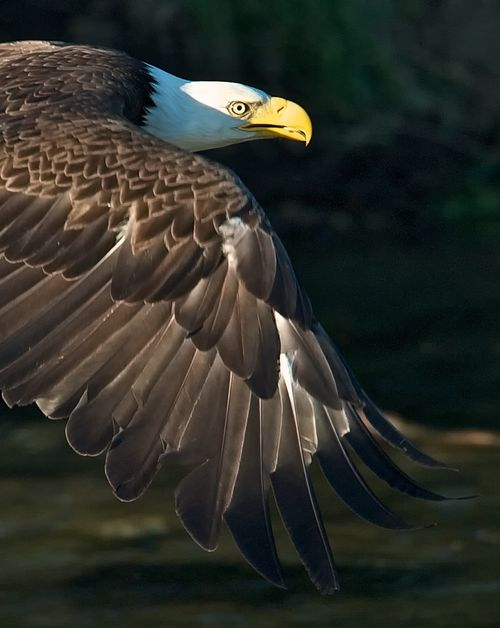 Bald eagles are drawn by the most prolific sockeye salmon run in the world. Credit: Roy Wood.