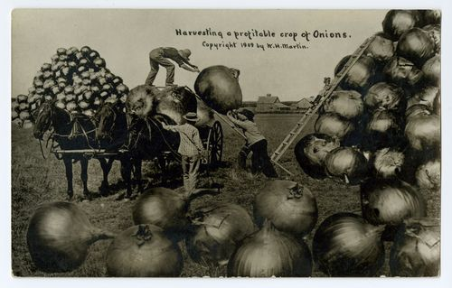 Harvesting a Profitable Crop of Onions, exaggeration postcard, Wm. H. Martin, published by The North American Post Card Co. Kansas City, U.S.A, 1909