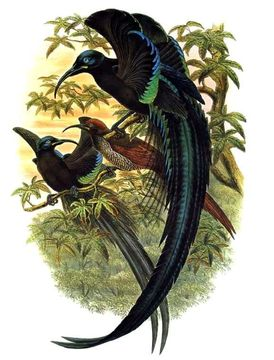 A black sicklebill, a large bird of paradise that reminded us a bit of Elphaba's costume. Image via the Encyclopedia of Life