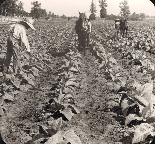 Image: Cultivating young tobacco plants, near Lexington, Kentucky, probably around the 1930s. National Museum of American History.