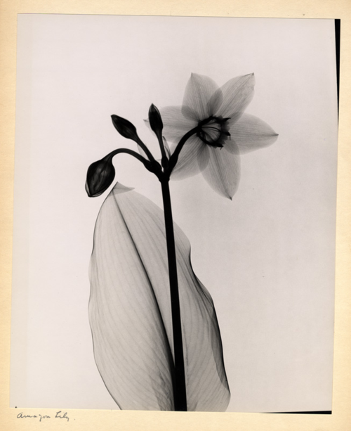 Amazon Lily, Dr. Dain Tasker, radiograph, 1930s. This printed x-ray of the flower shows Tasker's combination of a delicate artistic hand and his exacting technical knowledge.