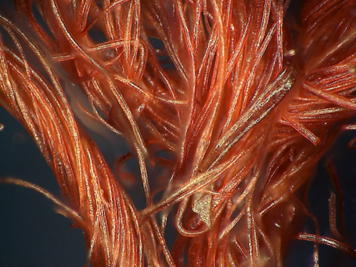 "A microscopic look at individual fibers from the Star-Spangled Banner. ""Conservators look for scales and surface proteins that show the condition of the flag. When we bring samples back we use a digital microscope that can do a 3000x magnification. That's when we're really looking for those fine little microfractures that can occur on the fibers."""