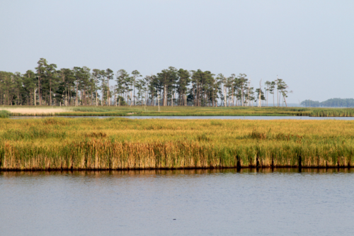 Marsh grasses in Blackwater National Wildlife Regfuge. Courtesy of the CHesapeake Bay Program via Flickr Creative Commons.