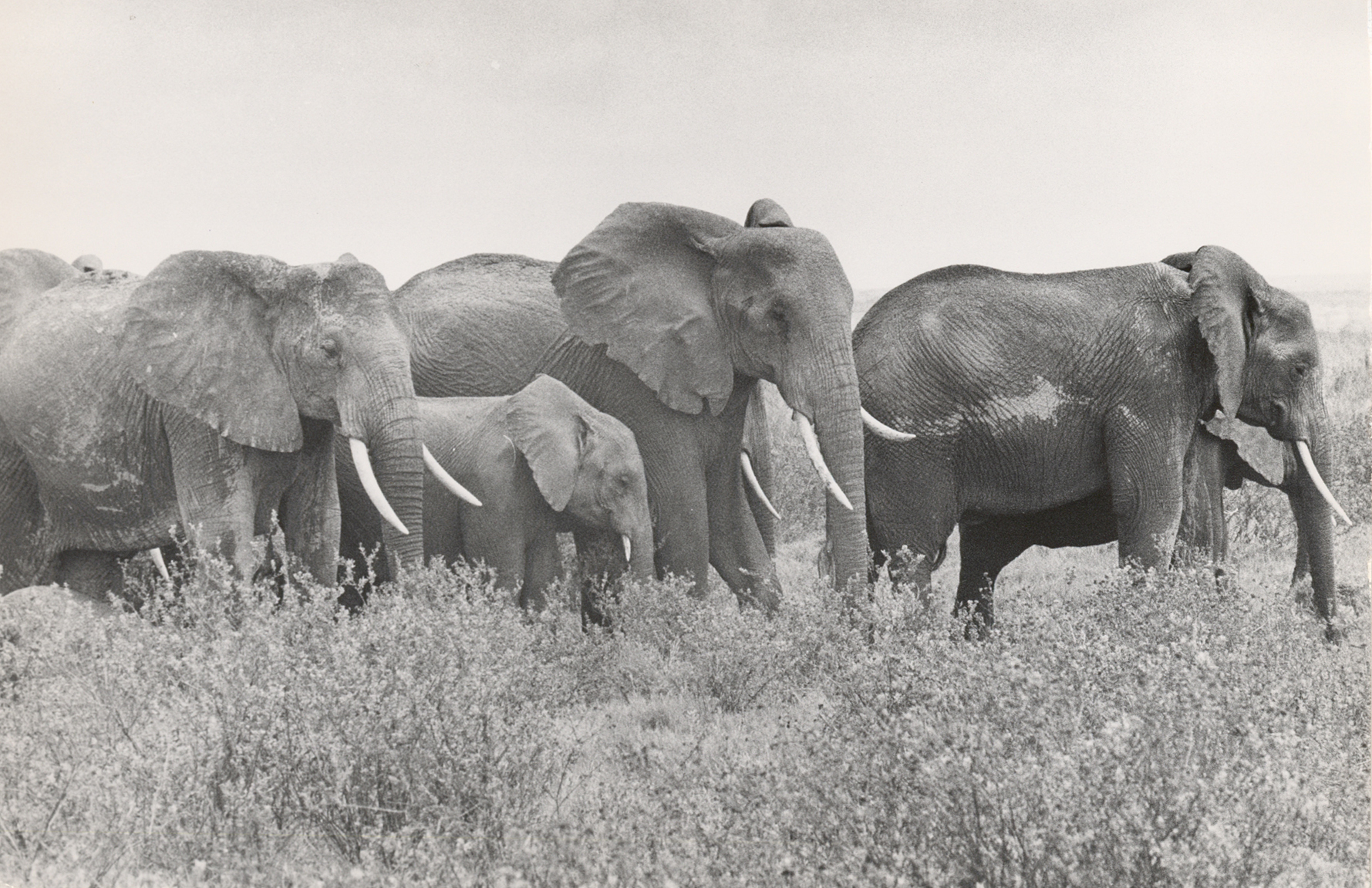 A group of elephants walk together in a black and white photograph