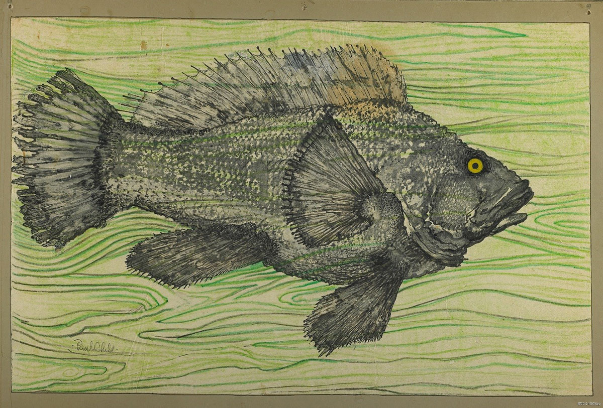 The rock cod fish print. 2001.0253.0747.