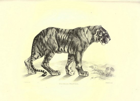 On a butter-colored background there is a black sketch of a tiger.
