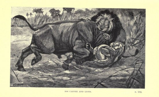 An illustration in black and white of a lion violently sinking its teeth into the neck of a large hooved animal in the wilds.