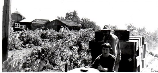 Black and white photo of two people in a vineyard with leaves and grapes visible. Boxes or crates and farm-style buildings in the background.