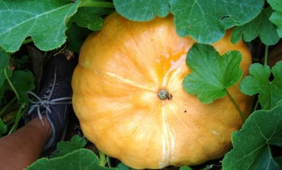 Photo of a large, neatly round orange pumpkin among green leavs