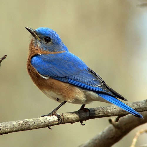 Small blue bird with a tan belly. Its beak is pointed up in the air and its large eye is open. It's sitting on a branch.