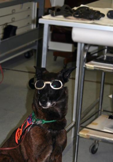 "Dog wearing ""doggles"" or goggles for dogs. He is a brown, tall dog with perky ears. Wearing a vest."