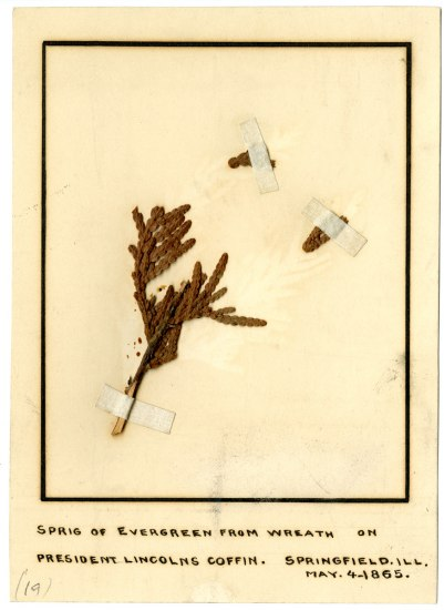 Sprigs of evergreen mounted on paper with tape