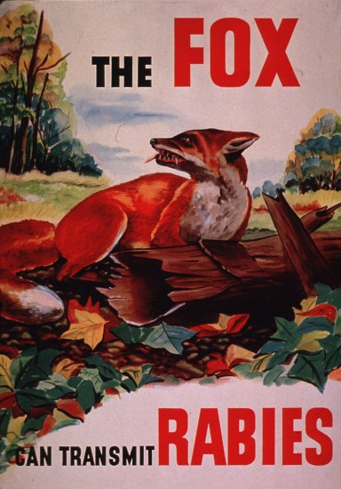 "Illustrated poster with red and black text: ""The fox can transmit rabies."" Illustrated image of a red/orange fox with bared teeth on a fallen log. Trees and leaves."