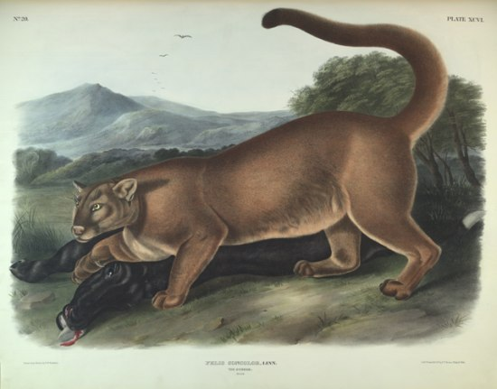 An illustration of a brown, large cat creature that looks possessive of its prey underneath it, a black creature which looks very dead.