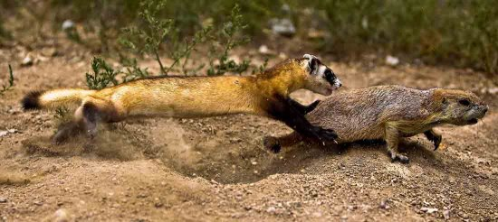 A lean ferret leaps after a prairie dog that is trying to leave its hole in a hurry