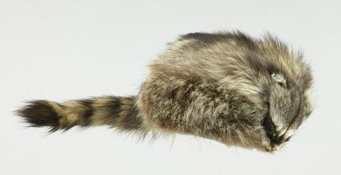 Coonskin cap worn by actor Fess Parker as Davy Crockett made of real raccoon