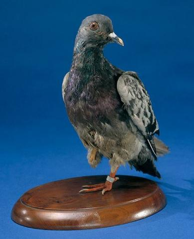 Taxidermy pigeon
