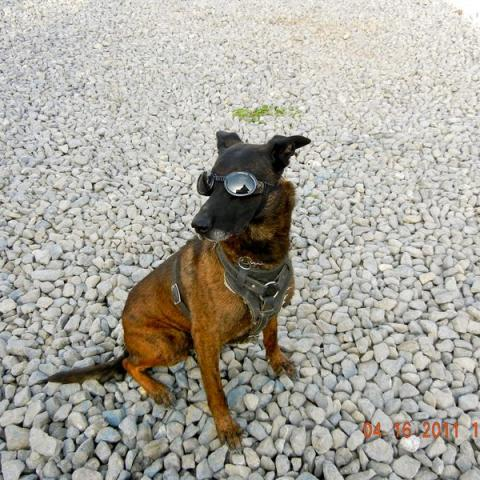 Dog wearing goggles on gravel