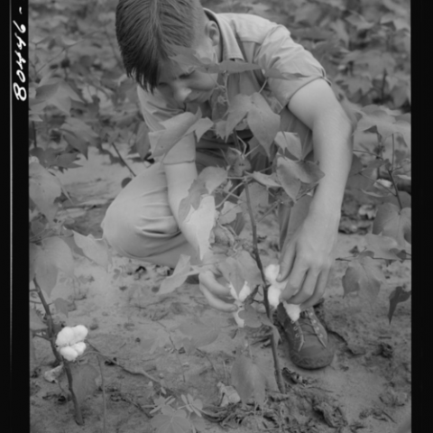 In a black-and-white photo, a child prunes a cotton plant