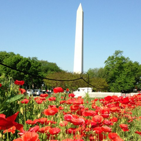 Color photo of lots of red poppies growing in front of the Washington Memorial. Blue skies and green trees surround.