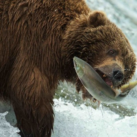 A bear catches a fish in its mouth, with water raging all around