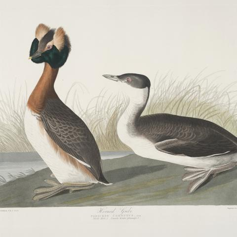 Illustration of two grebes