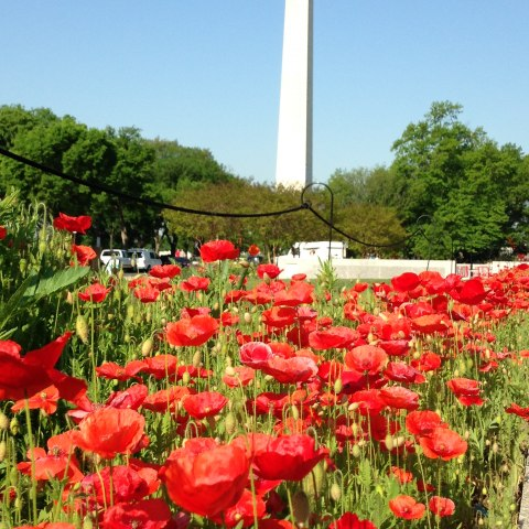 In foreground, red poppies grow tall and straight in the sunlight. In background, the Washington Monument rises up behind some trees. Clear blue sky.
