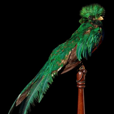 Photograph of green taxidermy bird on wooden perch with a round base. Alert eye. Yellow beak. Long green tail.