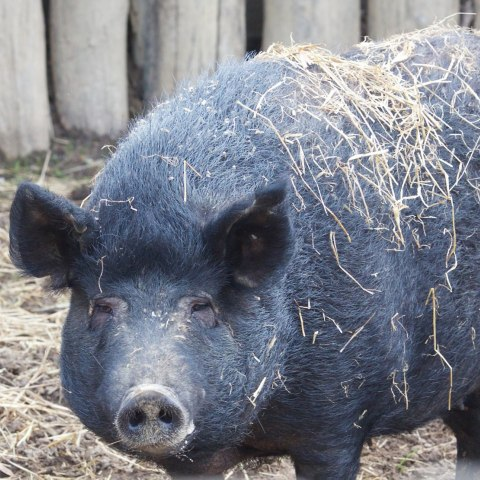 A black hog stands in an enclosure of logs. It has straw all over it.