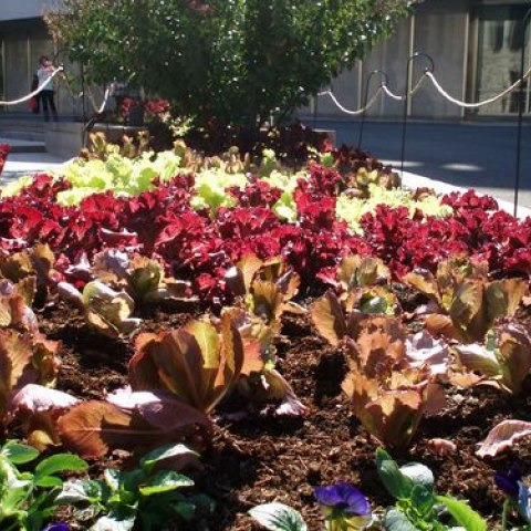 Different types of lettuce that are growing in front of the National Museum of American History
