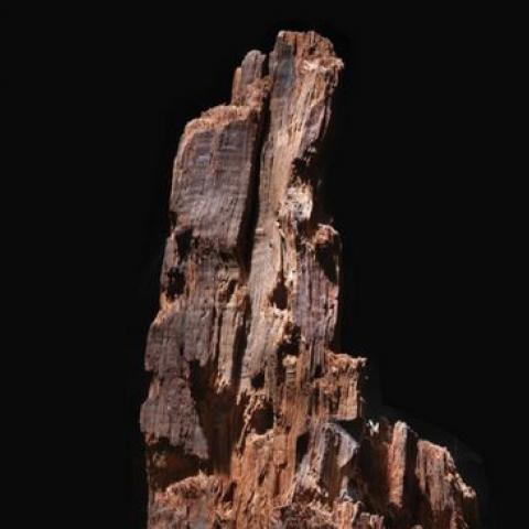 Brown shredded tree stump, black background
