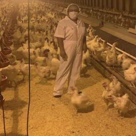 Farmworker in a poultry farm