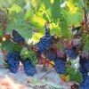 Blue-green grapes hang on the vine with vibrant green leaves